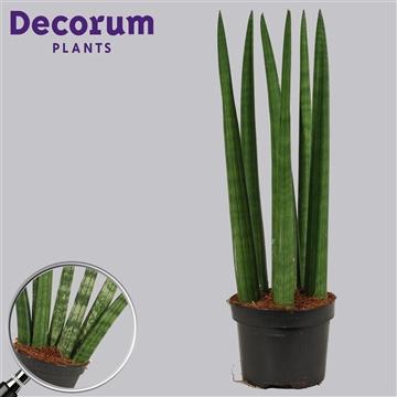 Sansevieria cylindrica 11 cm Straight (Decorum)
