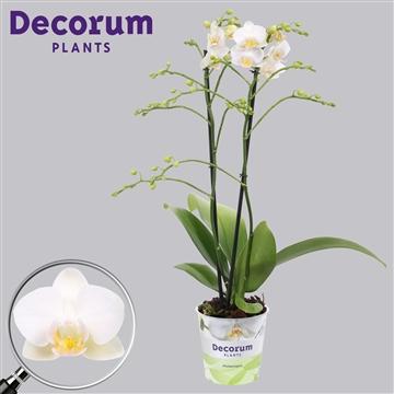 Phalaenopsis 2-Tak multi White snow 50 cm