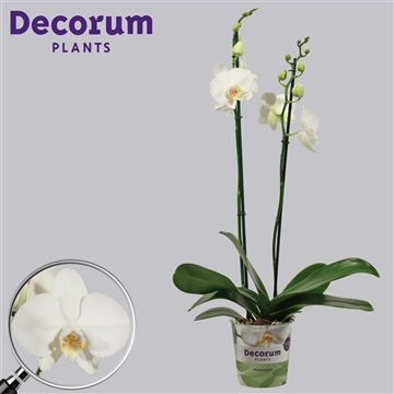 Phalaenopsis 2 tak Tropic Snowball (Decorum)