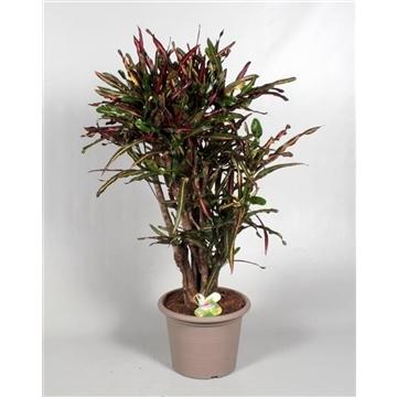 Croton Curly Boy vertakt 100-100 cm in deco pot (Decorum)