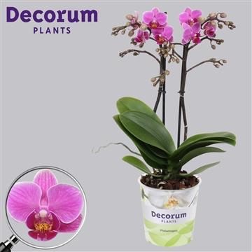 Phalaenopsis 2-tak multi Intention 40 cm