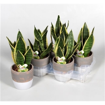 Collectie Reflection of Pure - Sansevieria Superba in Marrit pot (Decorum)