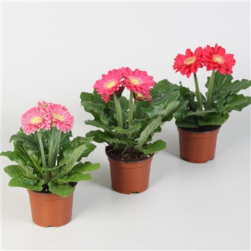 Gerbera Colourgame roze
