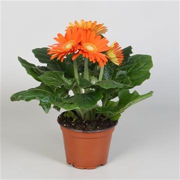 Gerbera Colourgame op kleur oranje