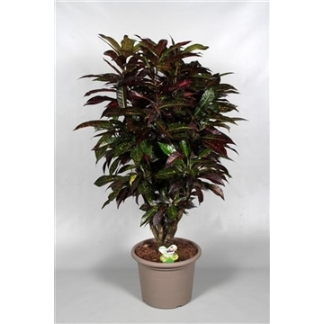 Croton Freckless zwaar vertakt (RUSSIA)