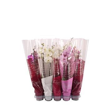 Tisento phalaenopsis 12 cm 2t mix in roze hoes