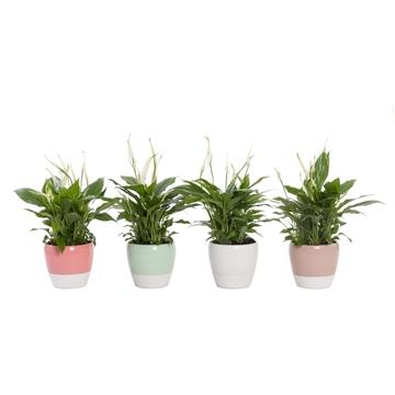 Spathiphyllum 13 cm 'Bellini' in pot Martine