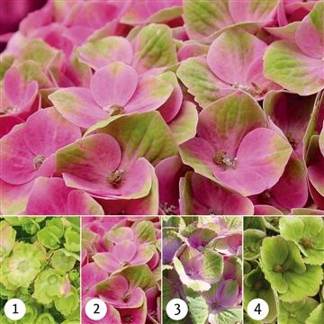 Hydrangea Magical Amethyst ® rose 5/6 bloem