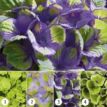 Hydrangea Magical Amethyst ® blue 5/6 bloem