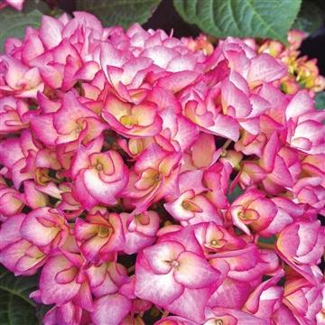 Hydrangea Grafin Cösel 5/6 bloem