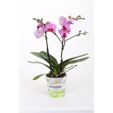 Phalaenopsis 2-tak multi CL 946 40 cm