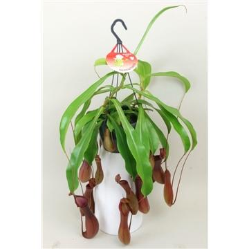 Nepenthes 'Alata'