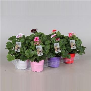 Pelargonium Grandiflorum Gemengd (stadium 3/4) met Indoor etiket