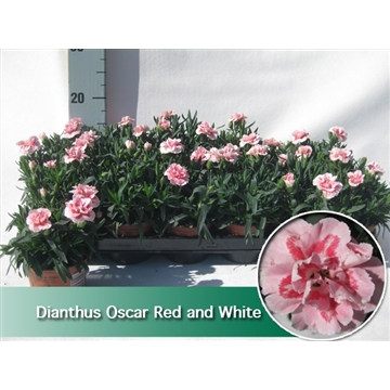 Dianthus oscar White and Red 9