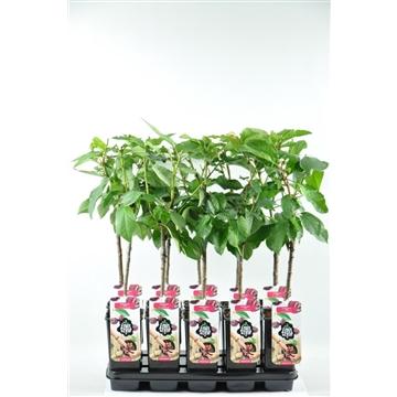 Prunus avium 'Van'