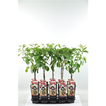 AA Prunusmix C2