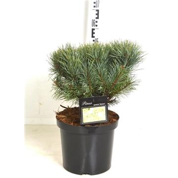 Pinus sylv. watereri