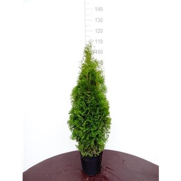 Thuja occidentalis 'Smaragd', plantmaat 80-100