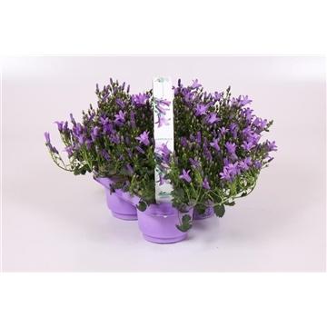 Campanula®Ambella Purple in 3- pack