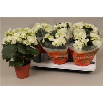Begonia clara white  wit