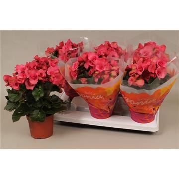 Begonia serena  paars
