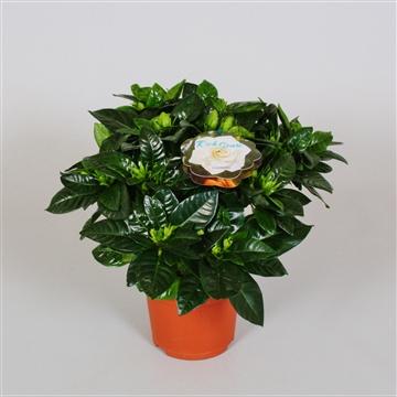 Gardenia Jasminoides 13cm