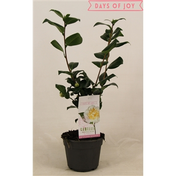 Camellia japonica 'Brushfield yellow' 15 cm 5+knop