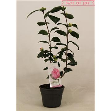 Camellia japonica 'Bonomiana' roze 15 cm 5+knop