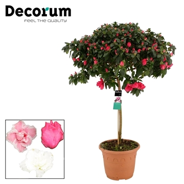 Azalea 25 cm Stam Decorum