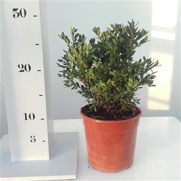Buxus 'Green Velvet' 15cm struik