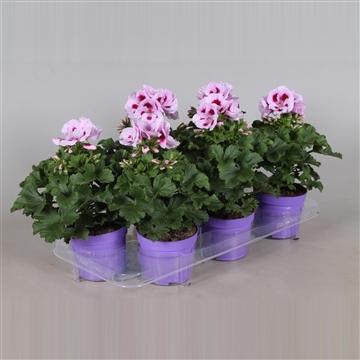 Pelargonium Grandiflorum ''Lavendel Splash''