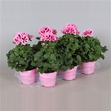 Pelargonium Grandiflorum ''Mid Salmon''