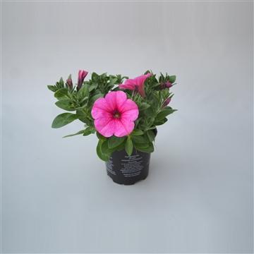 Petunia Potunia Plus Pinkalicious