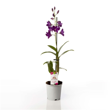 Dendrobium SA-NOOK purple happiness