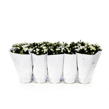 Tisento chrysant 12 cm wit
