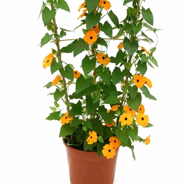 Thunbergia alata orange improved