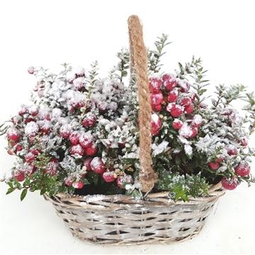 Kerst Pernettya in Mand met Sneeuw