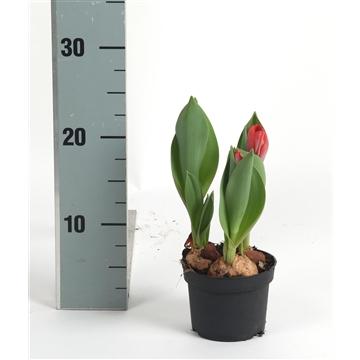 Tulipa 'Movie Star'