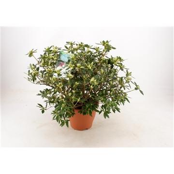 Tuinazalea 23 cm Wit Kleurtonend