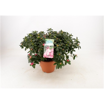 Tuinazalea 17 cm Bont Kleurtonend