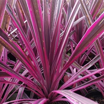 Cordyline Pink Passion®