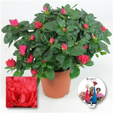 Azalea Bloom'Z, rood, P12, medium, 20-25 cm