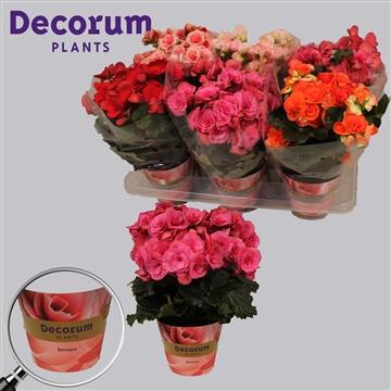 Begonia gemengd  russia