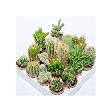 Cactus mix 5.5cm