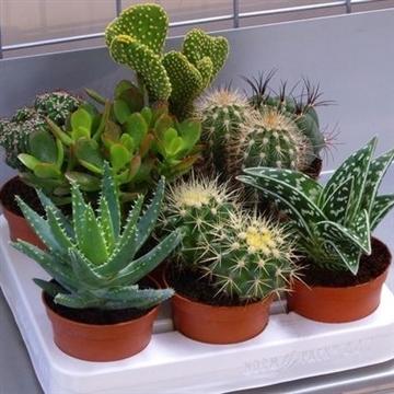 Cactus mix 8.5cm