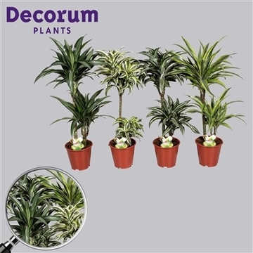 Dracaena Royal mix 45-15 cm stam (Decorum)
