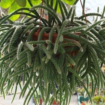 Cactus mix hang/colgar pot