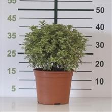 """Pittosporum tenuifolium """"Variegata"""" 5L Deco 25/30"""
