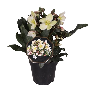 Helleborus Gold Collection® 'Malory'