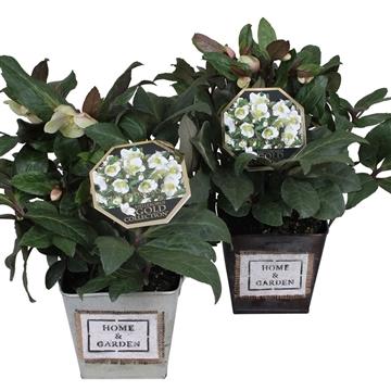 Helleborus Gold Collection® in zink Home & Garden